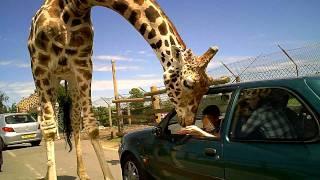 Download West Midlands Safari Park - Giraffe Video
