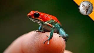 Download Deadly Poison Dart Frog? Video