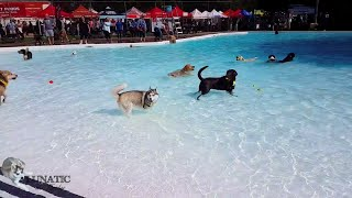 Download Husky goes to the swimming pool Video