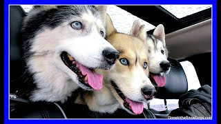 Download DOGS GO SHOPPING AT PETCO | Siberian Husky goes Shopping Video