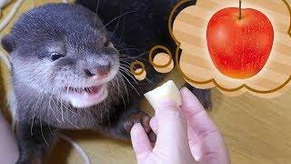 Download 【愛でる】カワウソのビンゴがリンゴを食べる姿が可愛かったので再度あげてみる(Otter Bingo apple munching scene cuteness overload) Video