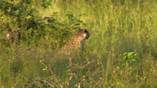 Download Djuma Private Game Reserve Live Stream: Who is this leopard? Video