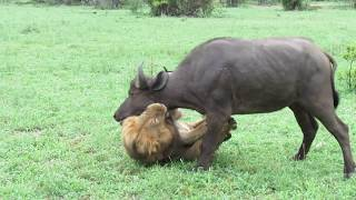 Download EXTREMELY RARE!!! Fearless Male Lion attacks Buffalo Herd, ALONE!!! Video