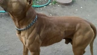 Download O poder do Pit Bull - The pit bull dog power (NEW) [3] Video