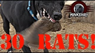 Download Mink and Dogs DESTROY 30 RATS!!! Video