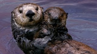 Download Why Sea Otters Hold Hands & Wrap Pups in Seaweed Video