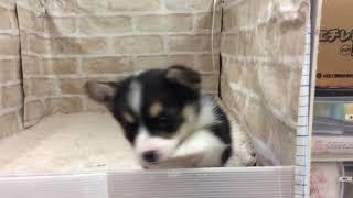 Download ペットショップ 犬の家 イオン名古屋みなと店 「品種名ウェルシュコーギー」「問い合わせ番号81343」 Video