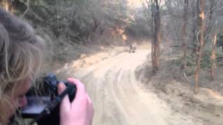 Download Tiger Safari - Tiger Chase / Attack Jeep in India's Ranthambore National Park Video