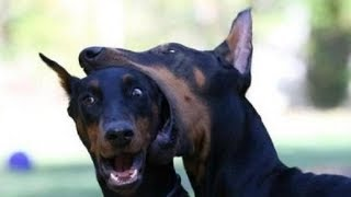 Download Top Funniest Doberman Video