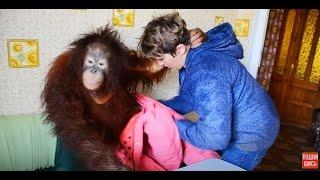 Download Орангутан Дана одевается и уезжает к себе в квартиру :) Video