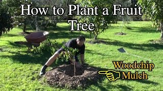 Download How to Plant a Fruit Tree in the Backyard with Woodchip Video