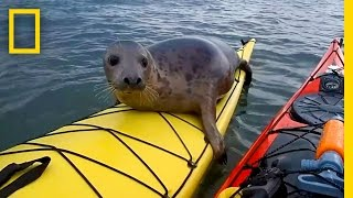 Download Adorable Seal Catches a Ride on a Kayak | National Geographic Video