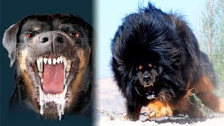 Download THE Most DANGEROUS DOGS In The World Video