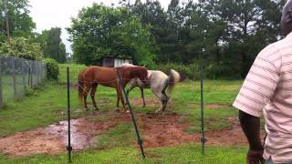 Download Horses meet for the first time. Video