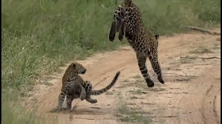 Download SafariLive Apr 21- Playtime for Leopard Thandi and cub! Video