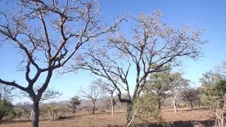 Download Leopard hunting monkey at Sabi Sands Video