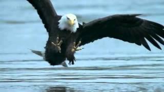 Download kartal avını yakalarken Video