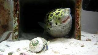 Download ミドリフグ*8 (Green Spotted Puffer ) Video