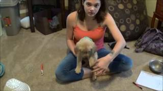 Download how to test a puppy to be a service dog Video