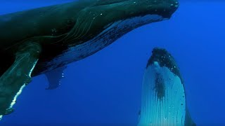 Download Two Beautiful Humpback Whales Dance | Animal Attraction | BBC Earth Video