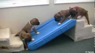 Download Cute 4 Week Old Boxer Puppies Playing Video