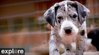 Download Great Danes - Service Dog Project powered by EXPLORE.org Video