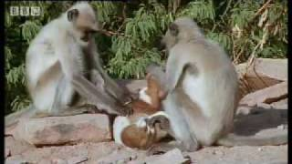 Download Monkeys play with cute puppy - Monkey Warriors - BBC animals Video