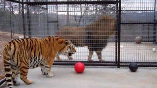 Download Turpentine Creek Wildlfe Refuge - Ziggy, Tigger G, and Brody Get New Digs! Video