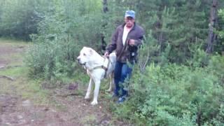 Download Волкодав в лесу Video