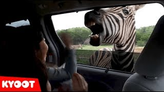 Download This ZEBRA Wants To Be Fed! | Funny Kids on the Safari Video