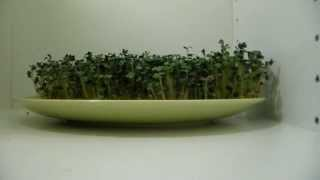 Download Mustard seed´s growing in TIME LAPSE - 5 days in 1 minute Video