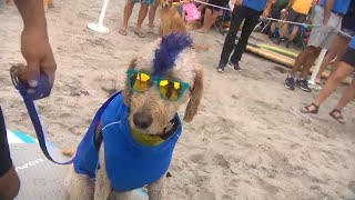 Download Surfing Dogs Ride the Waves in Style at Annual California Competition Video