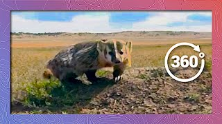 Download Face to Face with an American Badger in 360 5K Video