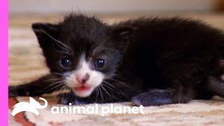 Download Tiny Tuxedo Cat Oreo Looks For a New Mother | Too Cute! Video