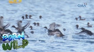 Download Born to Be Wild: The return of migratory birds in the Philippines Video