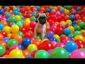 Download BABY PUGS FIRST TIME!! Video