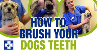 Download How to brush your dogs teeth Video
