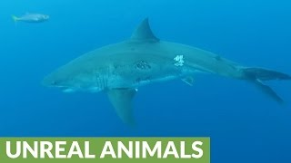 Download Great White Sharks circle divers at Guadalupe Island Video