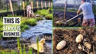 Download Collecting EGGS from Kyle's MASSIVE SALTWATER CROCS! Video