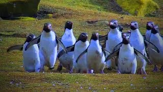 Download Best of Funny Penguins 😊🐧 Funny And Cute Penguins (Full) [Funny Pets] Video