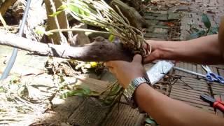 Download Orchid | Clip 01: Hướng Dẫn Cách Trồng Lan Rừng Cực Đơn Giản Cho Người Mới Tập Chơi Video