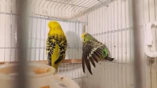 Download Muhabbet kuşu (yavru alamayanlara yardim) Video