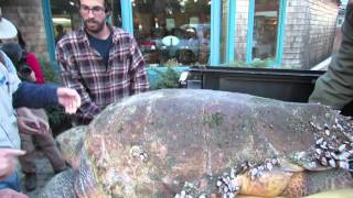Download How to move a giant loggerhead turtle Video