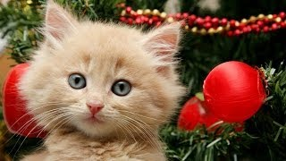 Download Getting a Kitten for Christmas Compilation Video
