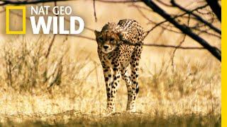 Download A Cheetah's Desperate Move   Lion Kingdom Video