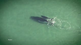 Download Baby Humpback Saves His Momma Video