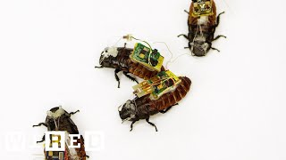 Download Cyborg Cockroaches Could Save Your Life | Cyborg Nation Video
