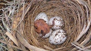 Download Cardinal Rule - Keep Egg Hatching FYV Video