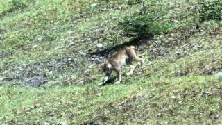 Download Linx vs Coyote Video
