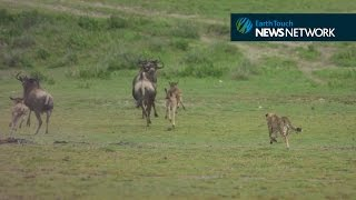 Download Cheetah chases down wildebeest Video